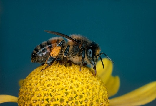spl_b7860051-honey_bee_on_flower