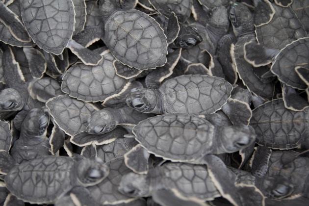 I piccoli di tartaruga comunicano attraverso le uova for Deposizione uova tartarughe