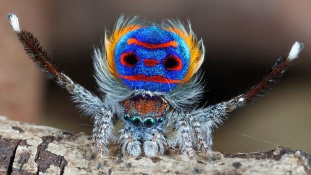 La danza di corteggiamento del ragno pavone