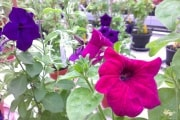 petunia-high-res