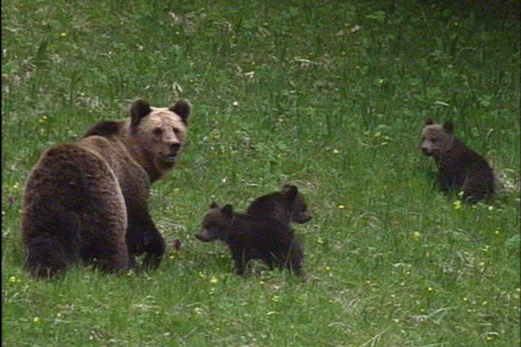 La famosa invasione degli orsi in Trentino
