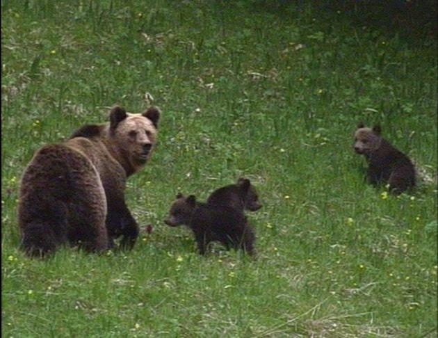 Pronta l'ordinanza per rimuovere l'orso che ha aggredito Angelo Metlicovec
