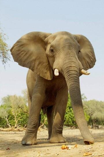 Perché uccidere l'elefante?
