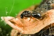 Guerra biologica al parassita delle castagne