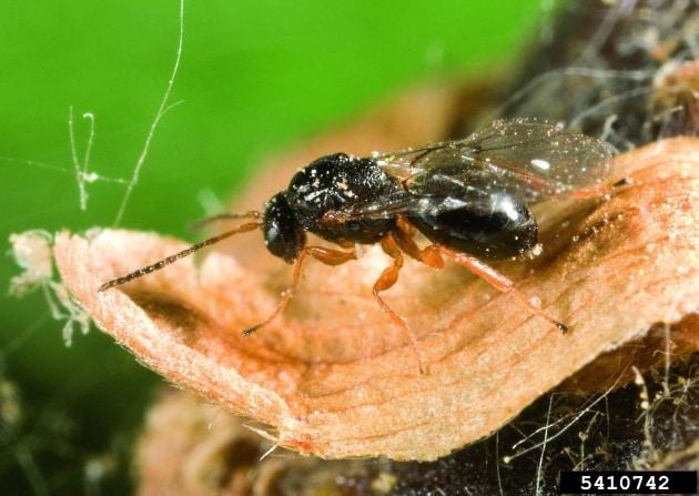 dryocosmus-kuriphilus_1680-512k