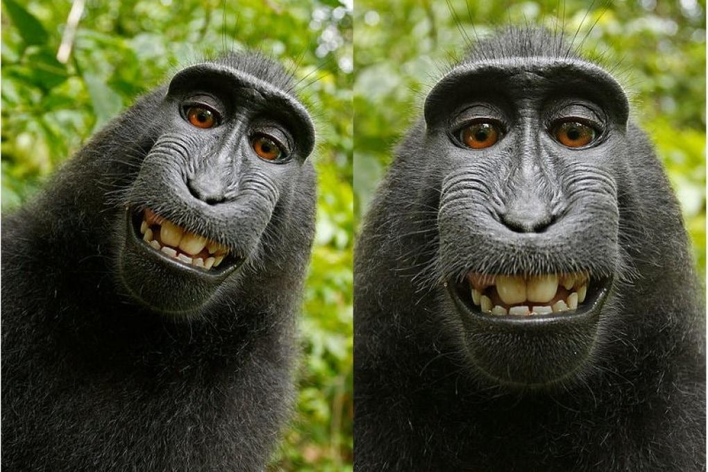 Wikimedia, il fotografo e il selfie del macaco