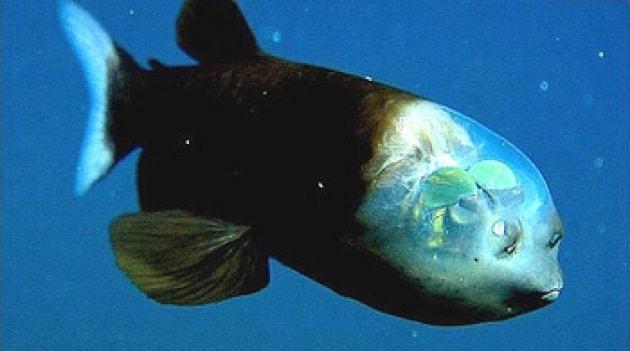 pesce-trasparente.630x360
