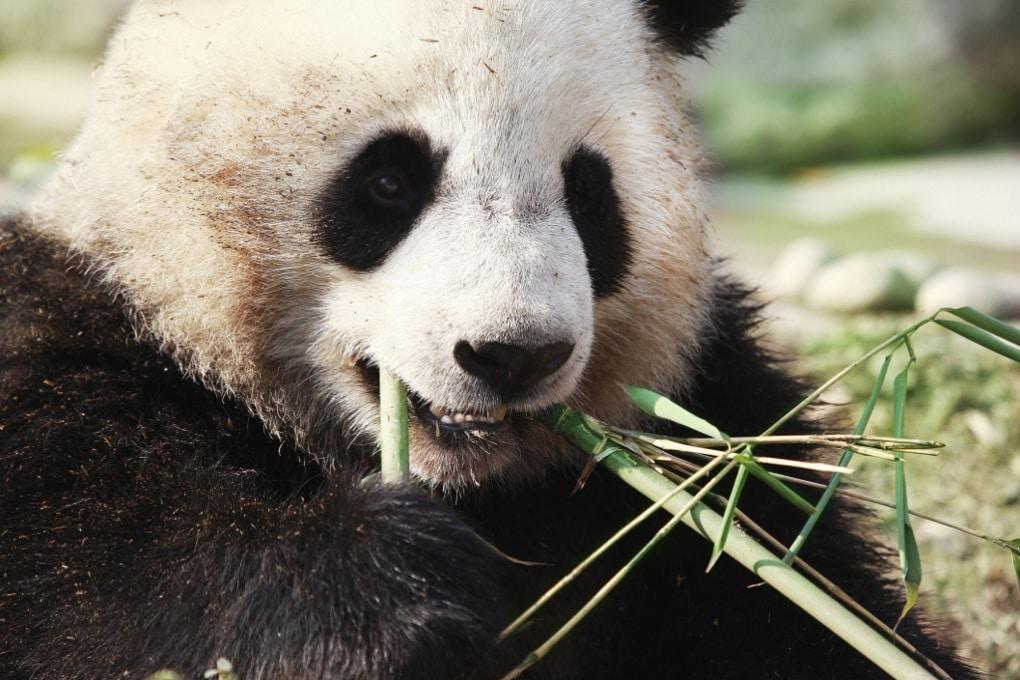 I chilometri dei panda per una dieta bilanciata
