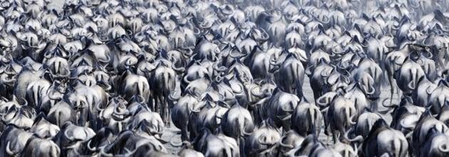 La grande corsa degli gnu del Serengeti