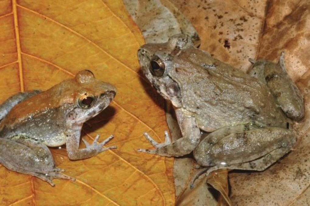 La rana con le zanne che partorisce girini