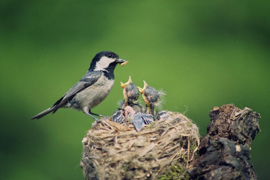 Tutti gli uccelli dormono nei nidi?