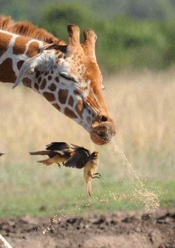 Il finto starnuto della giraffa