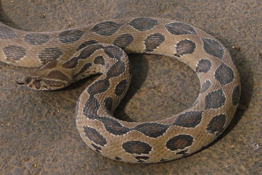 La vipera di Russell, il serpente più letale al mondo