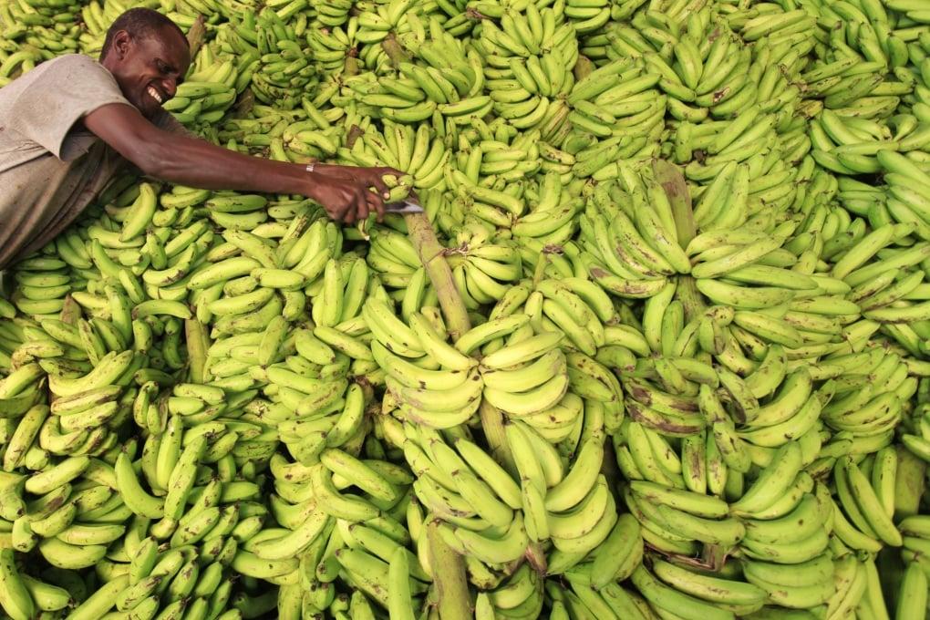 Le banane sono a rischio?