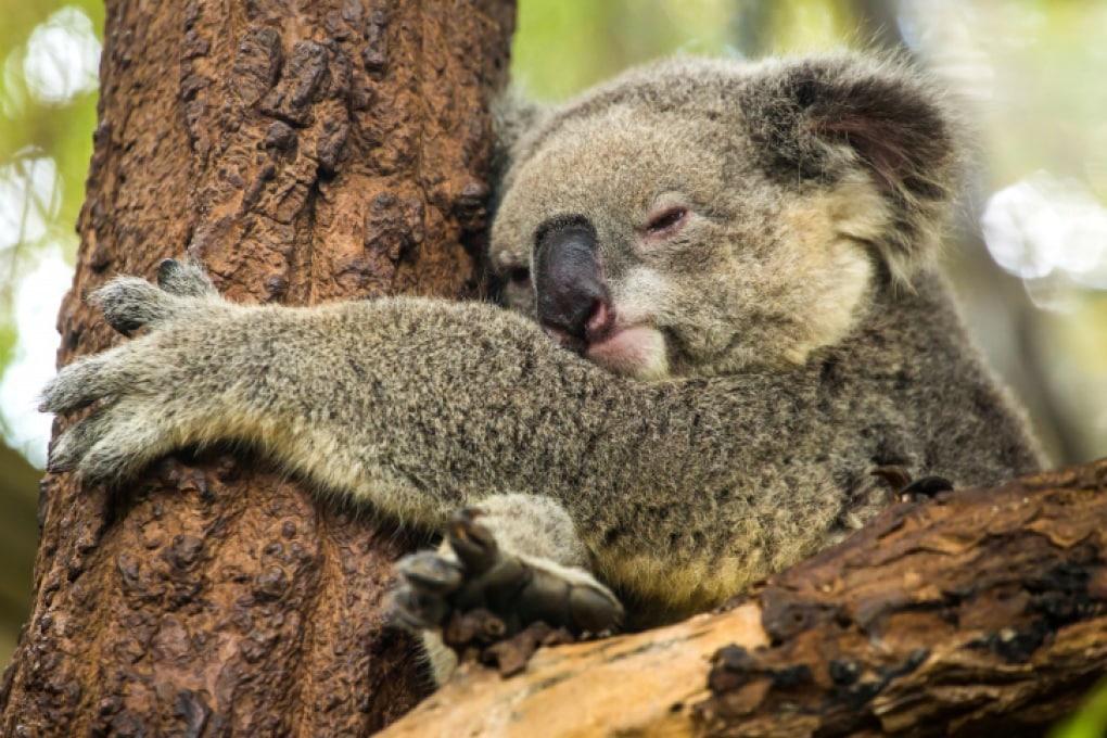Perché i koala abbracciano gli alberi?