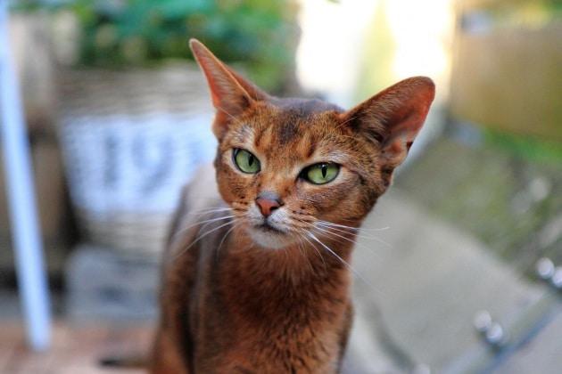 Genetica al lavoro sul DNA dei gatti