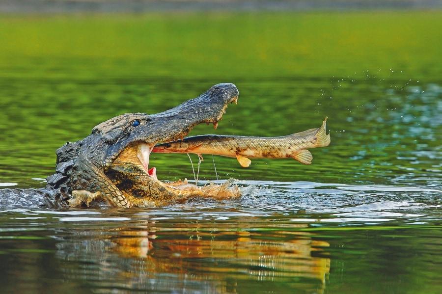 ipa_caters_alligator_snaps_fish_01