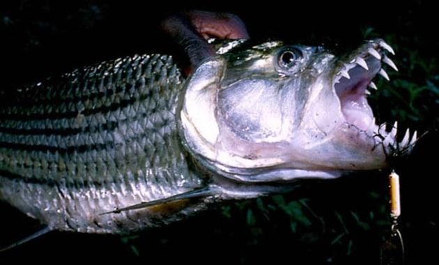 Il pesce tigre che divora un uccello in volo sul lago for Grosso pesce di lago
