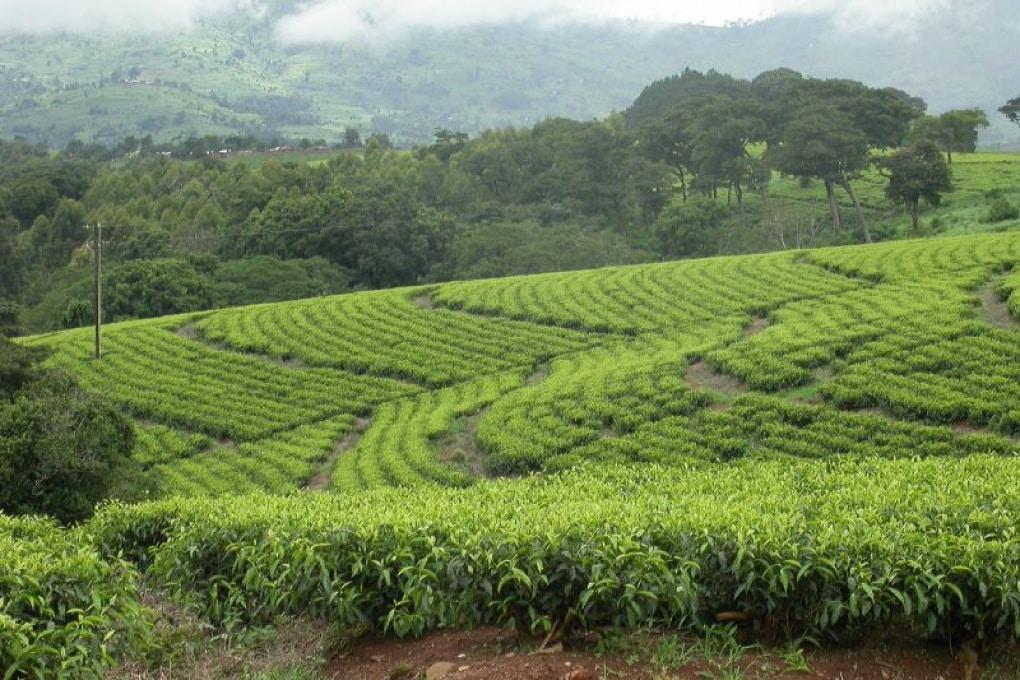 Quante varietà di tè esistono?
