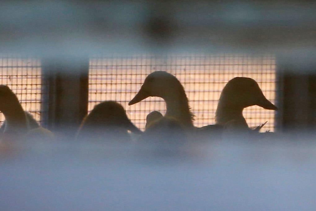 Aviaria negli allevamenti europei: quel che c'è da sapere