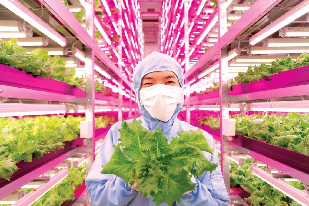 La fabbrica di lattuga: agricoltura hi-tech in Giappone