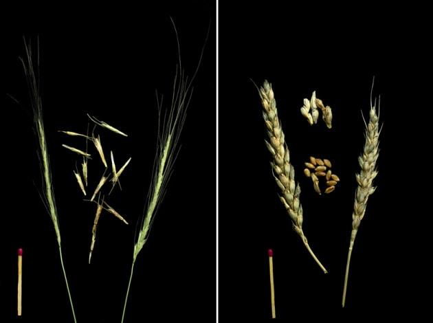 Da dove viene e come si è evoluto il grano?