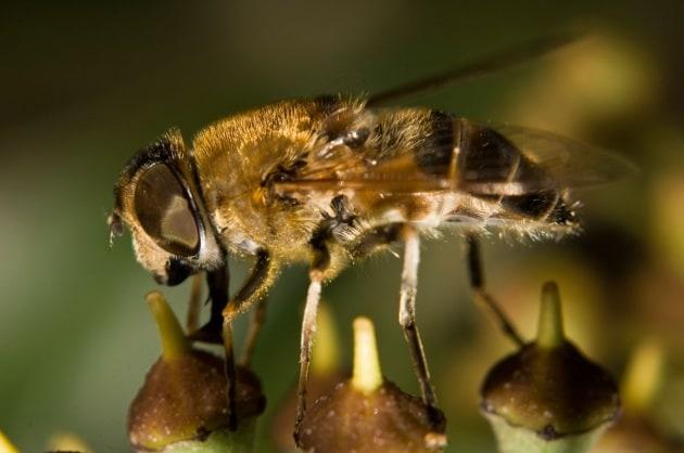 Perché le api muoiono dopo aver punto?