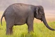 elephas-maximus