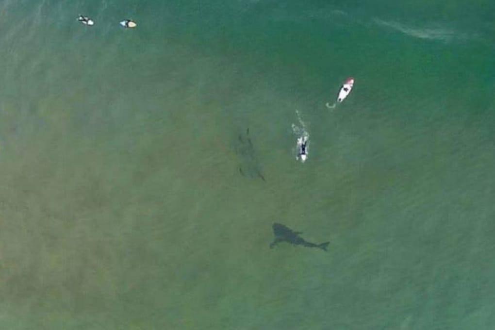 Squalo a pochi metri dai surfisti, un drone lo fotografa