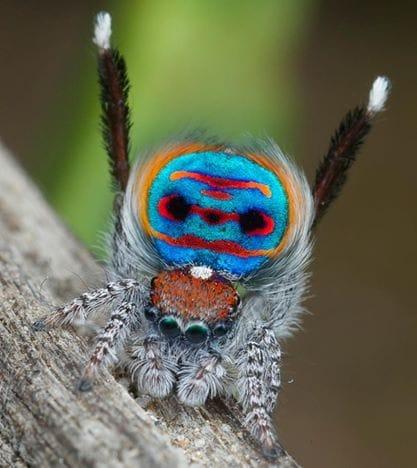 Altre specie di ragni pavone nelle foto di jurgen otto - Immagini pavone a colori ...