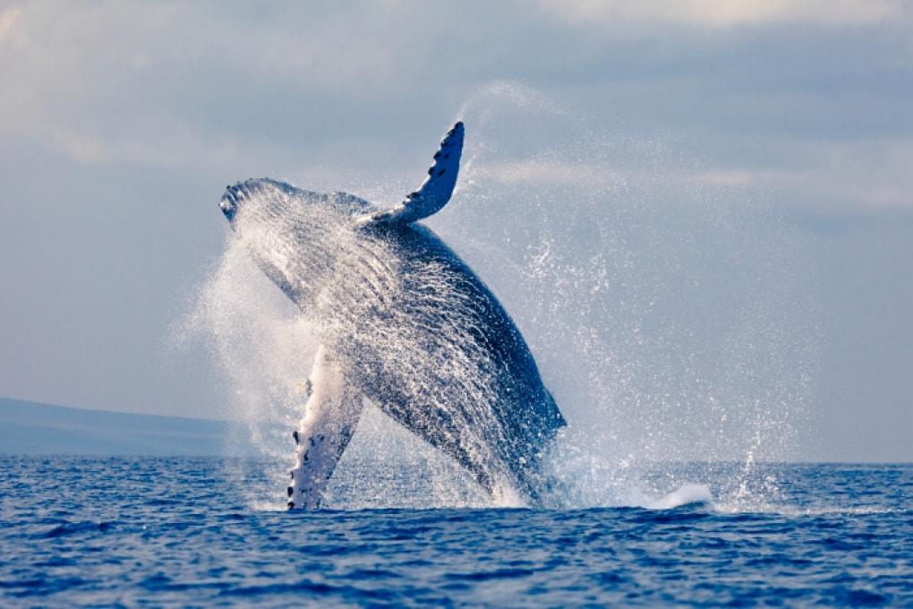 Di che cosa sono fatti i denti delle balene?
