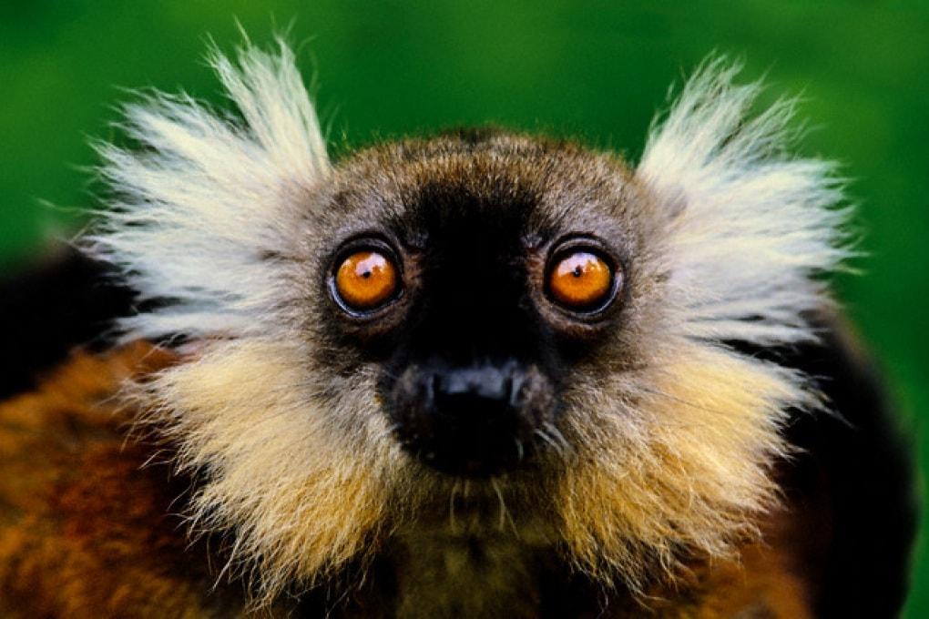 SOS lemuri: potrebbero essere estinti nel giro di 20 anni