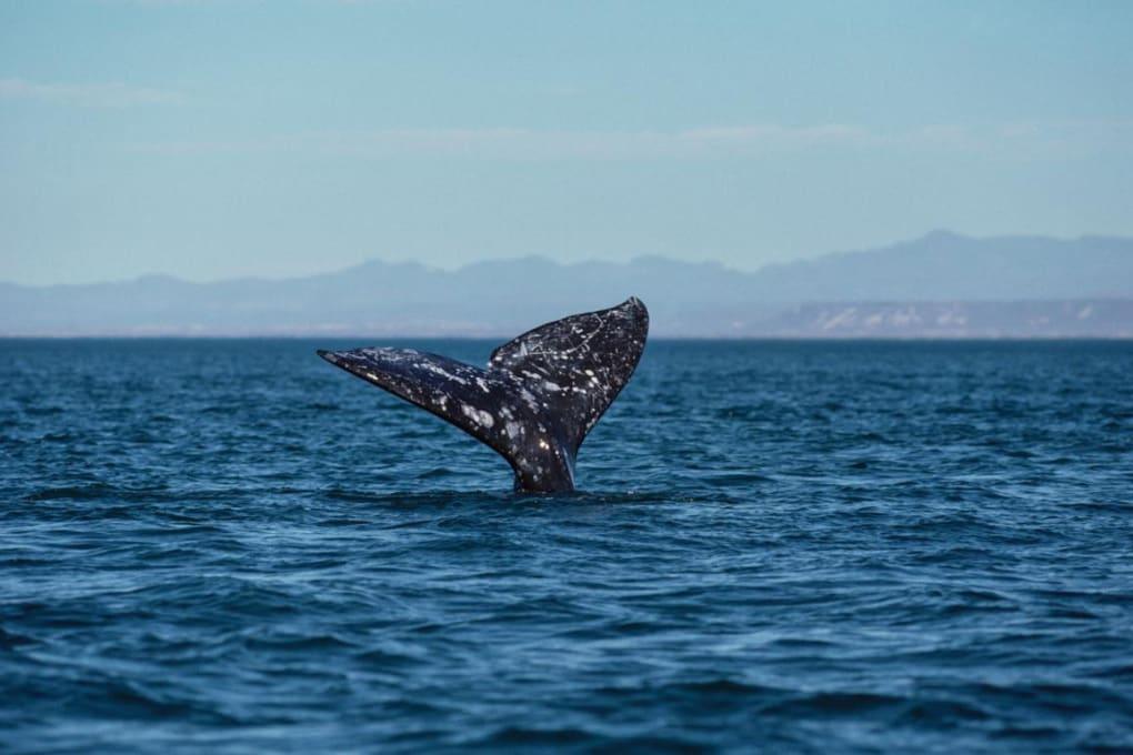 Gli antichi Romani cacciavano le balene nel Mediterraneo