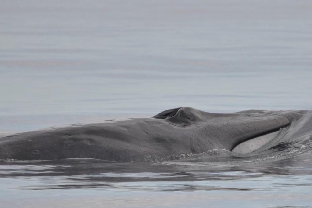 Una rarissima balena spiaggiata in Australia