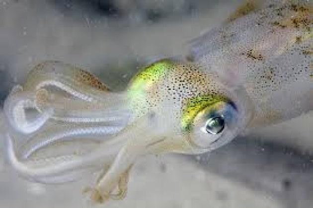 cefalopode