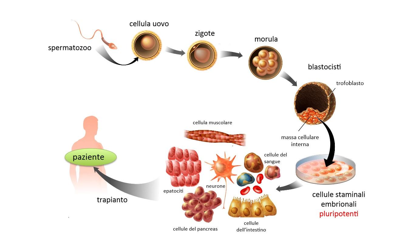 Risultato immagini per cellule staminali