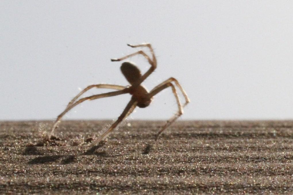 Il ragno che si muove a salti