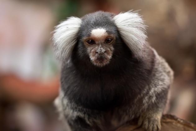 Scimmie a scuola con l'hi-tech