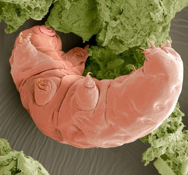 Sulla Luna sono sbarcati migliaia di tardigradi invincibili o quasi