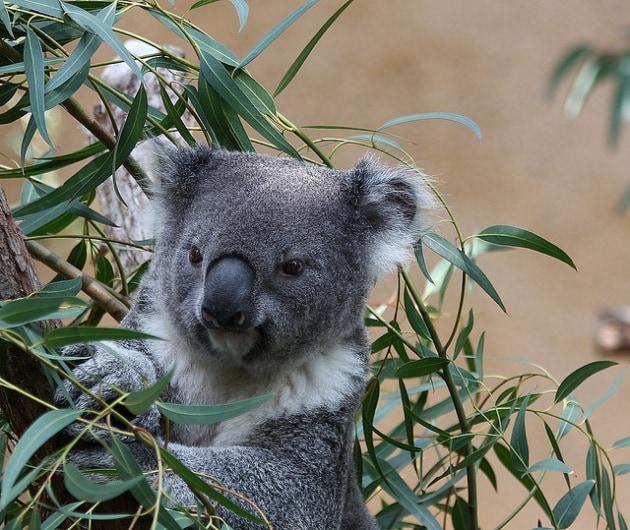 In Australia alberi di eucalipto dalle foglie d'oro