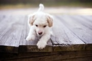 puppy_dog_on_bridge-wide