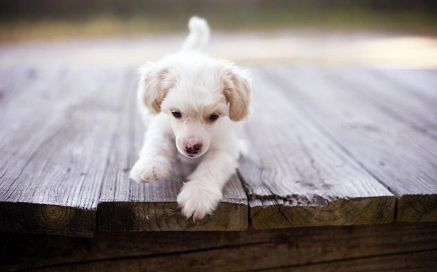 puppy_dog_on_bridge-wide