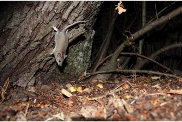 Animali rarissimi immortalati da fotocamere nascoste