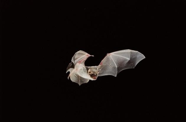 Il volo dei pipistrelli: ultrasuoni, magnetismo e luce polarizzata