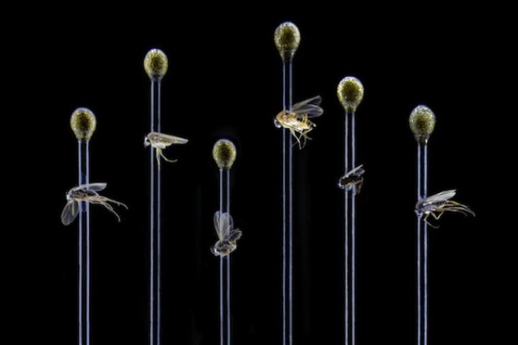 Scoperte 30 nuove specie di mosche a Los Angeles