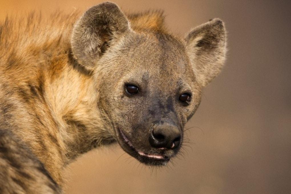 Le iene sono davvero così cattive?
