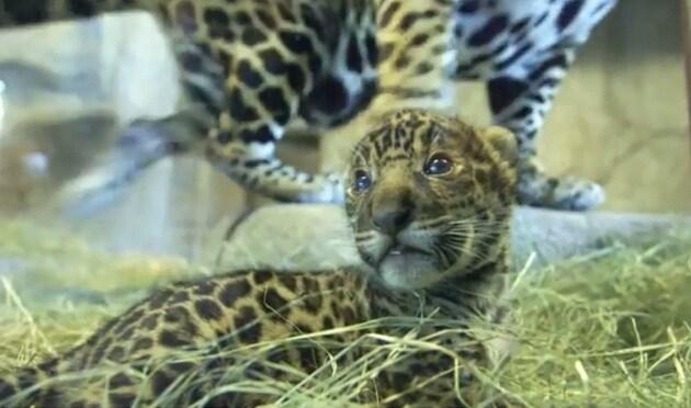 Il cucciolo di giaguaro fa il suo debutto in società