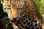 animal-wallpapers-wild-jaguar-wallpaper-31162
