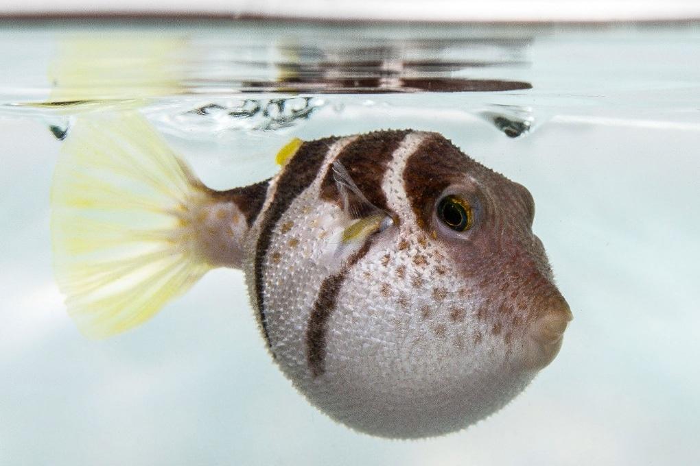 I pesci palla trattengono il fiato?