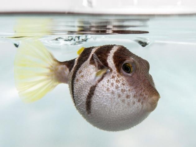 I pesci palla trattengono il fiato for Pesce palla immagini